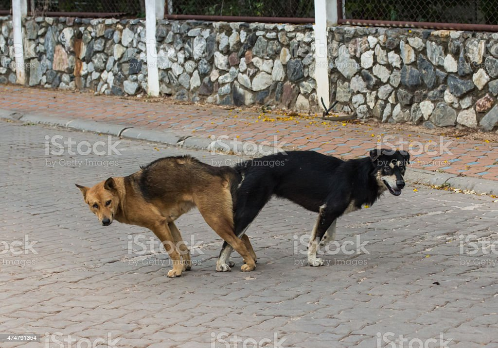 male and female thai dog mating, Mating of pet. stock photo