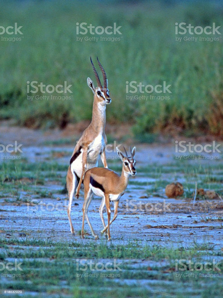 Male and Female Thompson's Gazelles (Eudorcas thomsonii) Mating stock photo