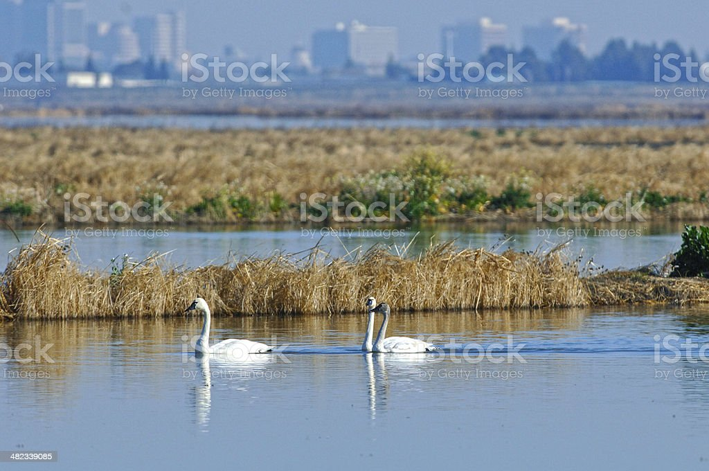 Male and Female Tundra Swans Against a Cityscape stock photo