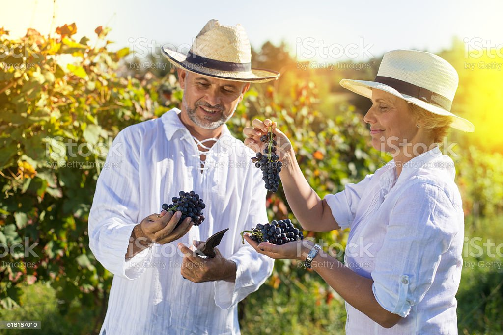 Male and female winemaker tasting grapes stock photo
