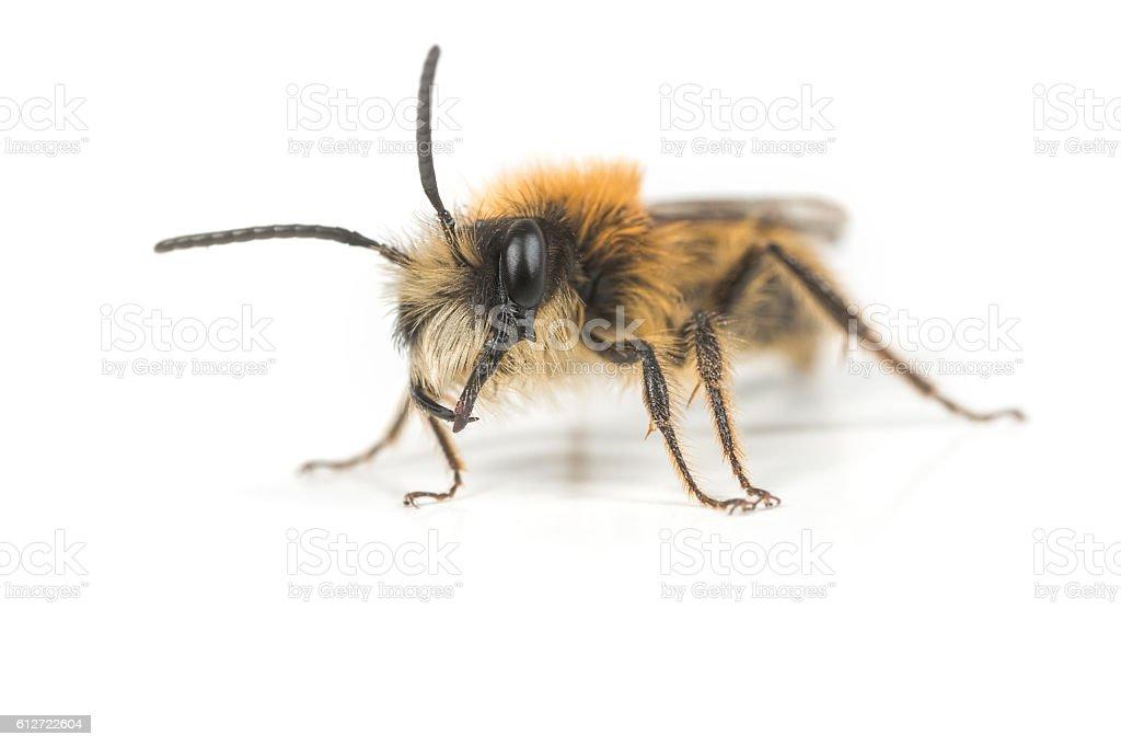 Male Andrena Mining Bee stock photo