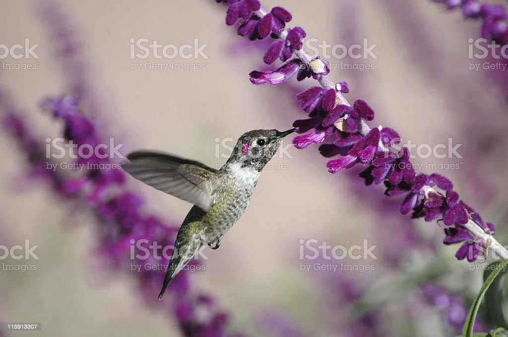 male Anna's hummingbird, Calypte anna stock photo