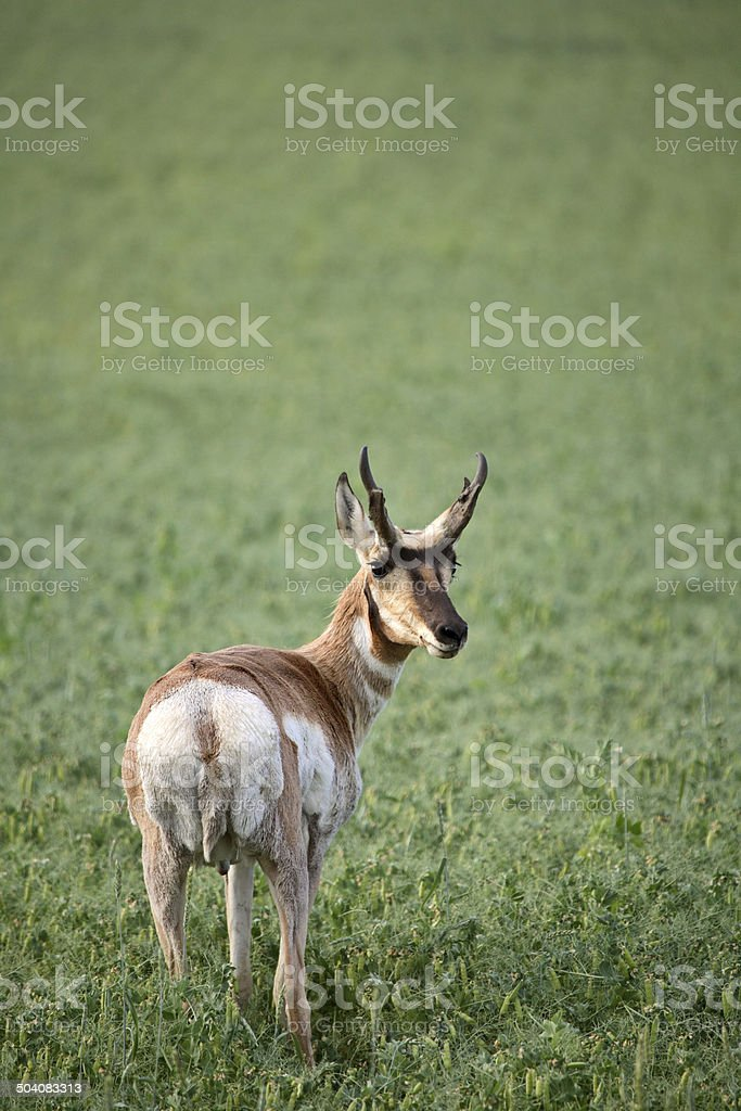 Male antelope in a Saskatchewan field of chickpeas stock photo