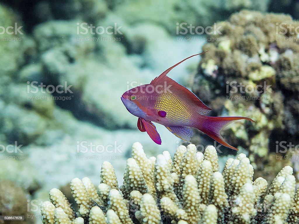 Male Anthias fish stock photo