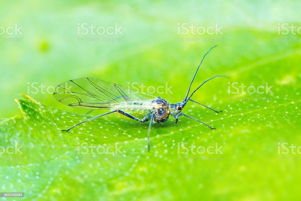 Male Aphid Crawling on Leaf stock photo
