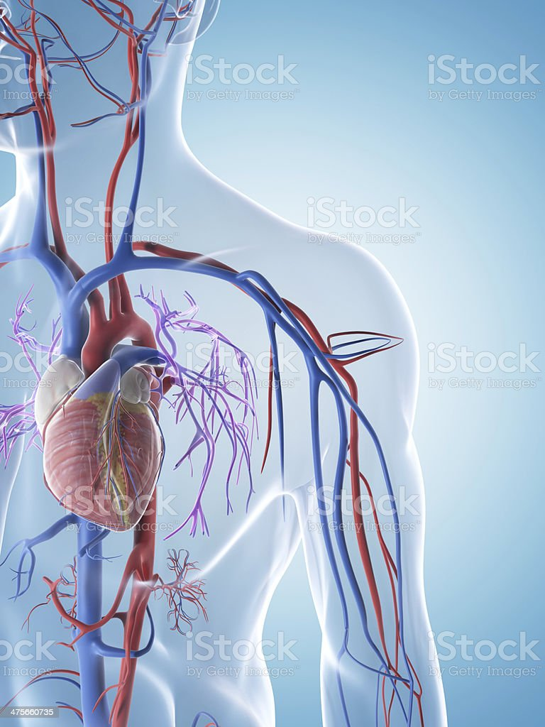 male arteries and veins stock photo