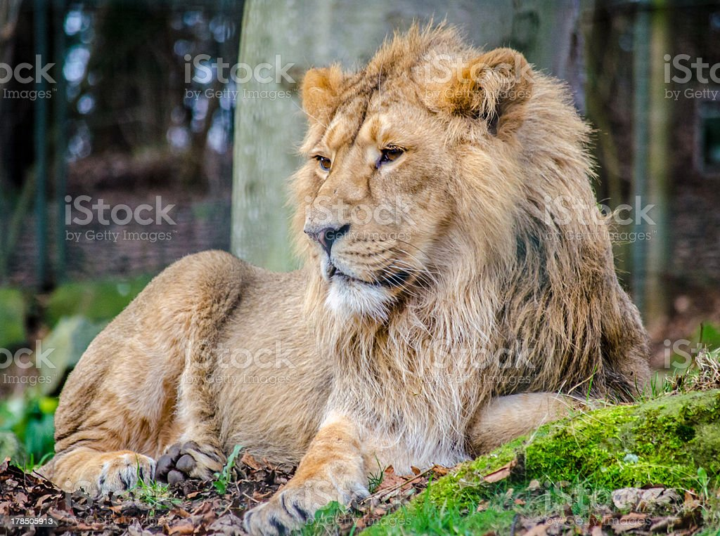Male Asian Lion, Panthera leo royalty-free stock photo