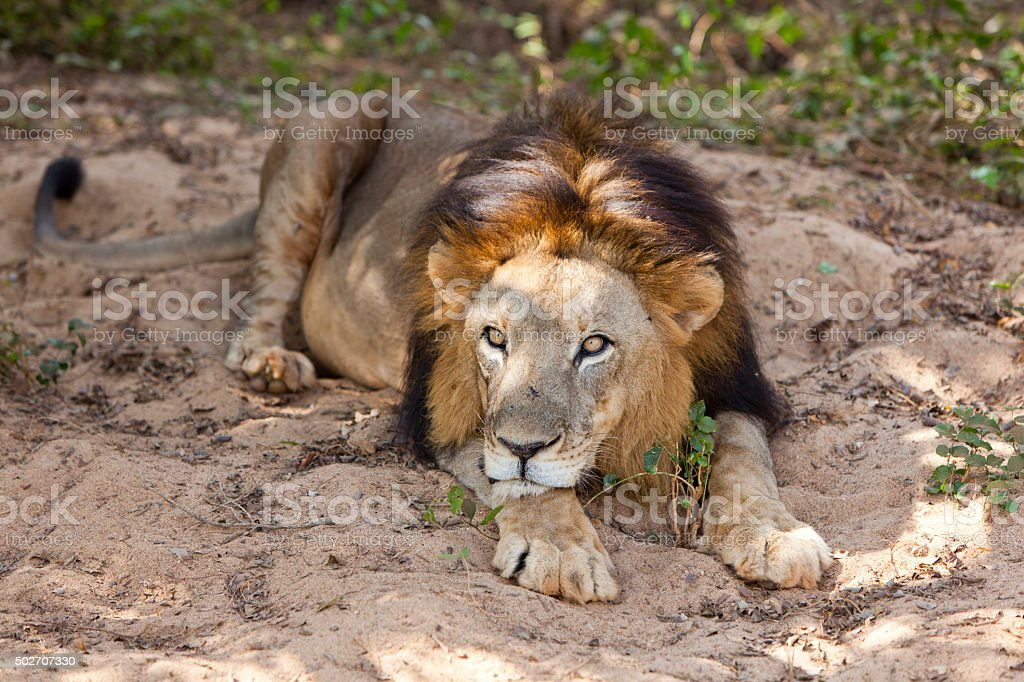 Male Asiatic lion laying down. stock photo