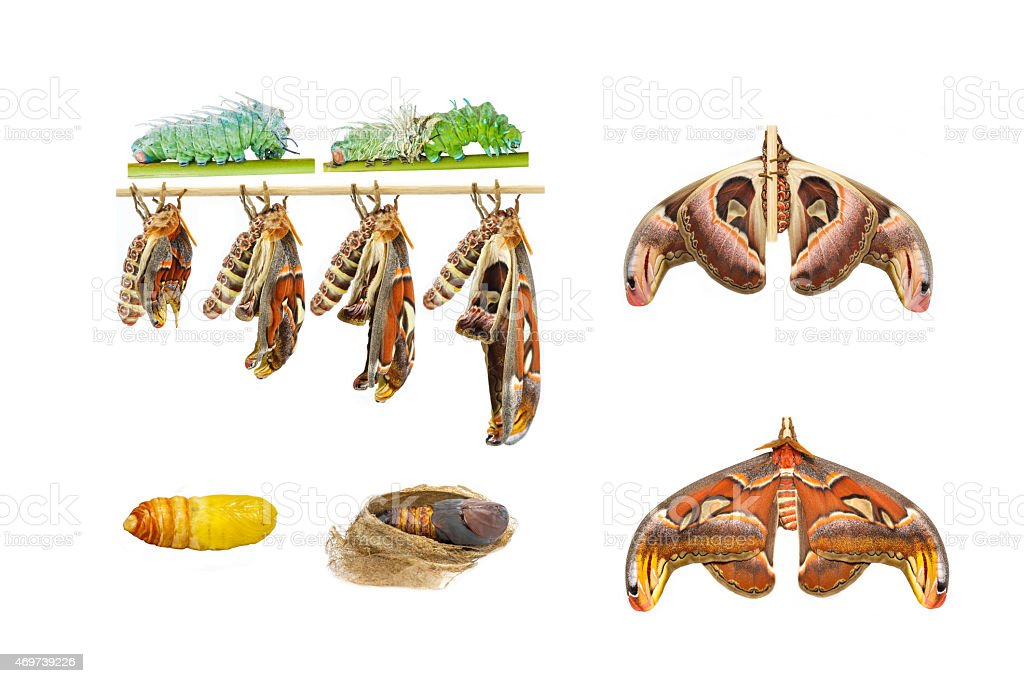 Male attacus atlas moth life cycle stock photo