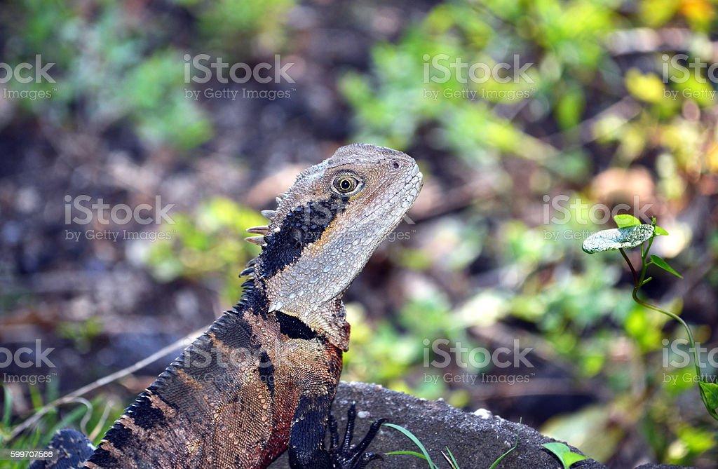 Male Australian Eastern Water Dragon stock photo