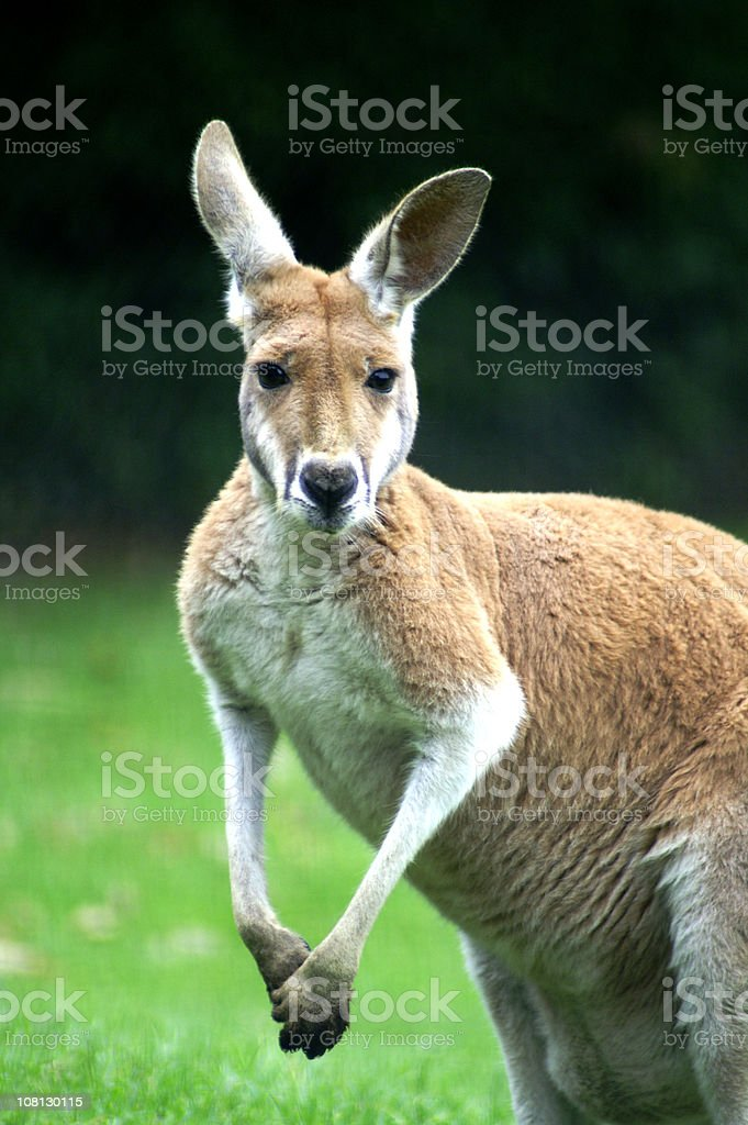 Male Australian Red Kangaroo stock photo