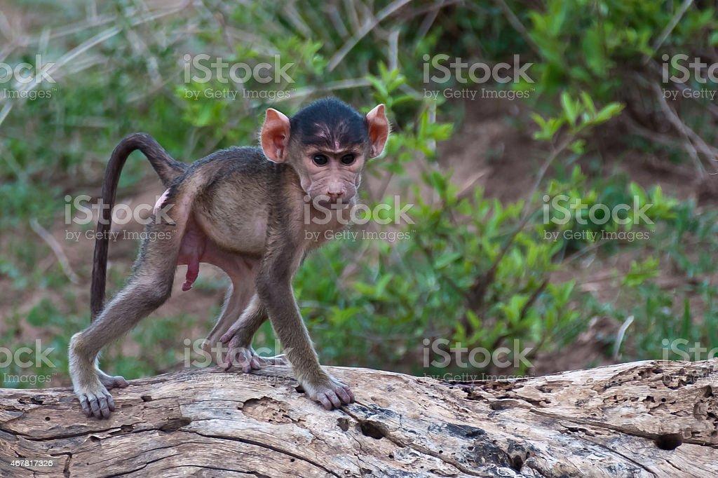 Male Baby Baboon stock photo