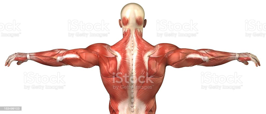 Male back muscular system anatomy isolated stock photo