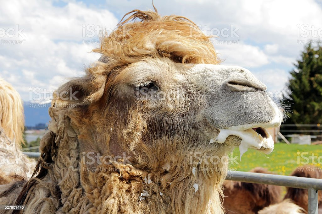 male Bactrian camel is ready to mate stock photo