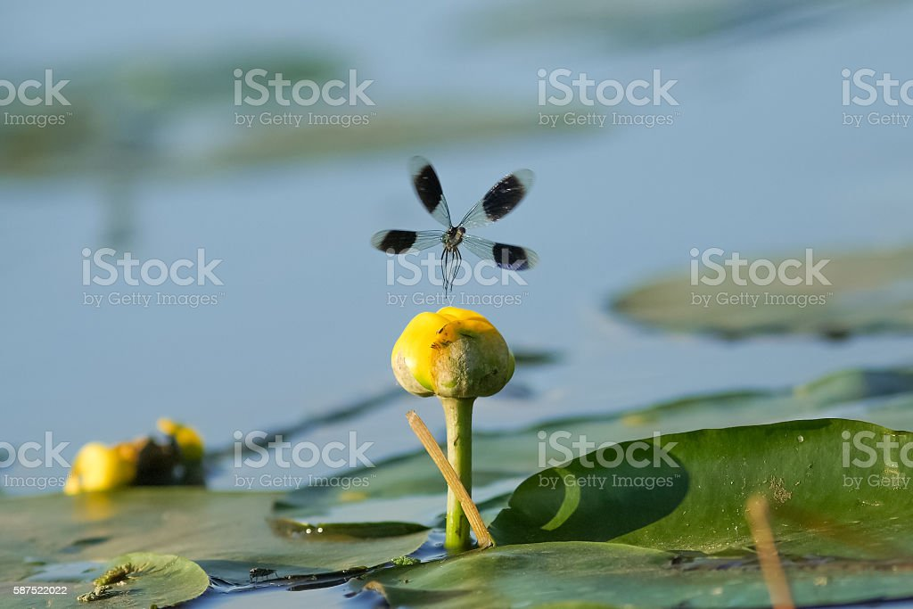 Male Banded Demoiselle damselfly (Calopteryx splendens) displaying over lilypads stock photo