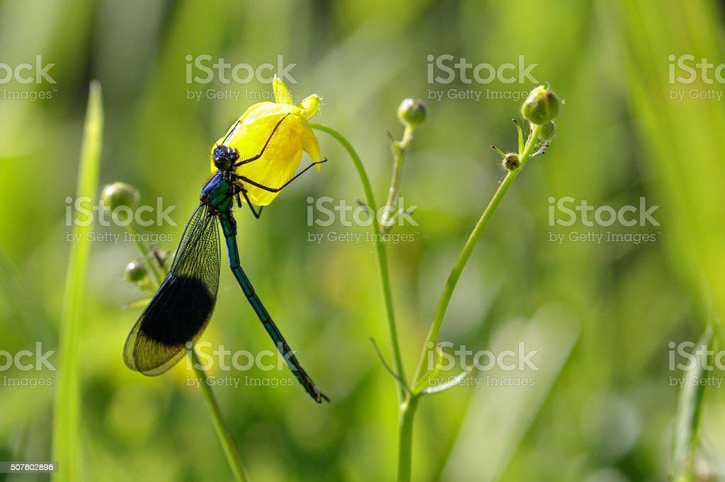 Male Banded Demoiselle (Calopteryx splendens) on a flower stock photo