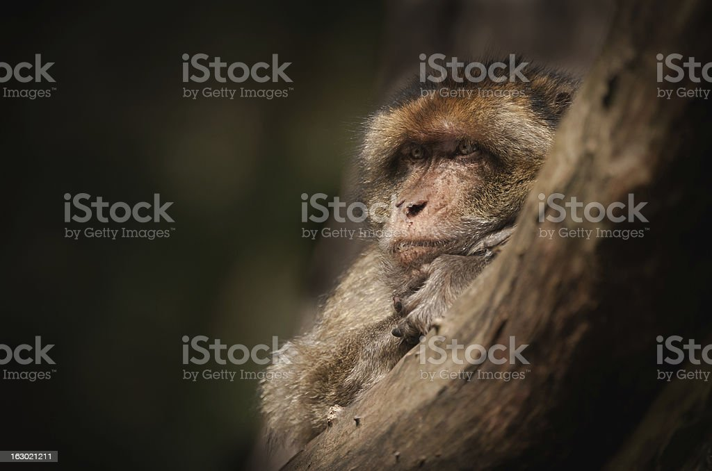 Male Barbary Macaque. stock photo