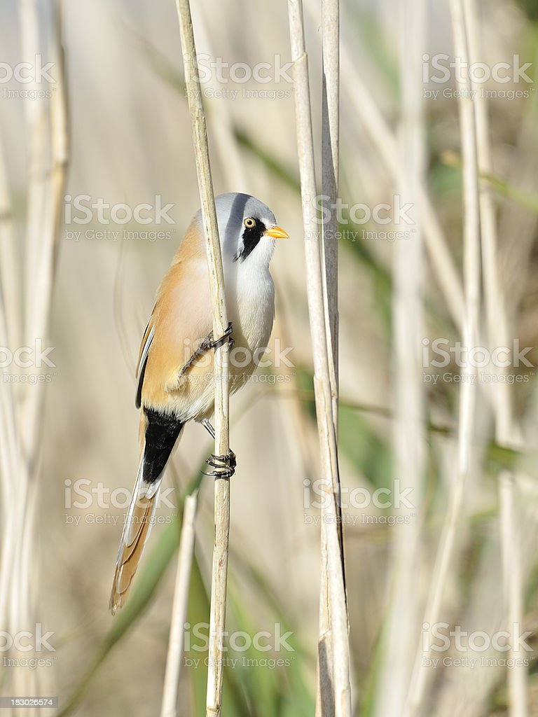 Male bearded Reedling in the marshland stock photo