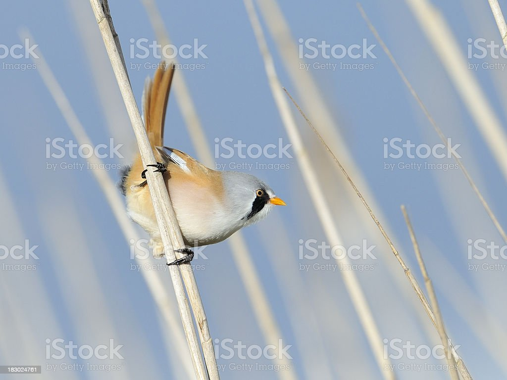 Male bearded Reedling on guard stock photo