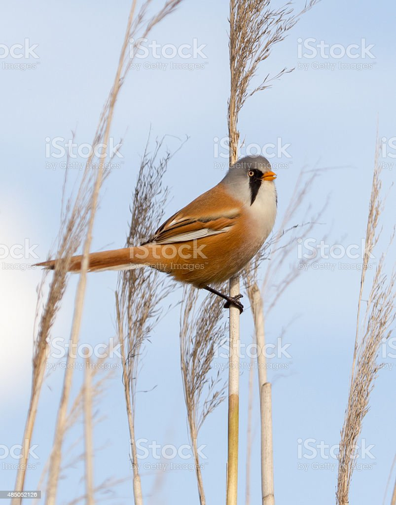Male bearded reedling on reed. stock photo
