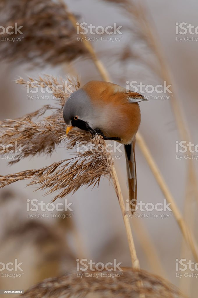 Male Bearded Reedling on Reeds stock photo