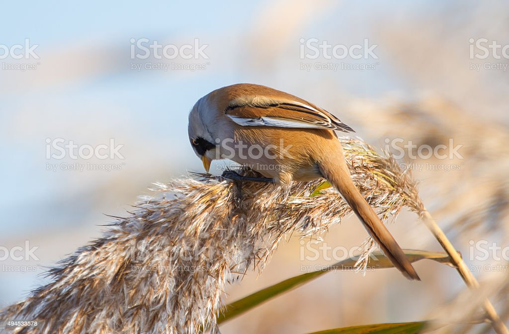 Male bearded reedling stock photo