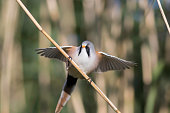 Male bearded tit reedling with wings outstretched