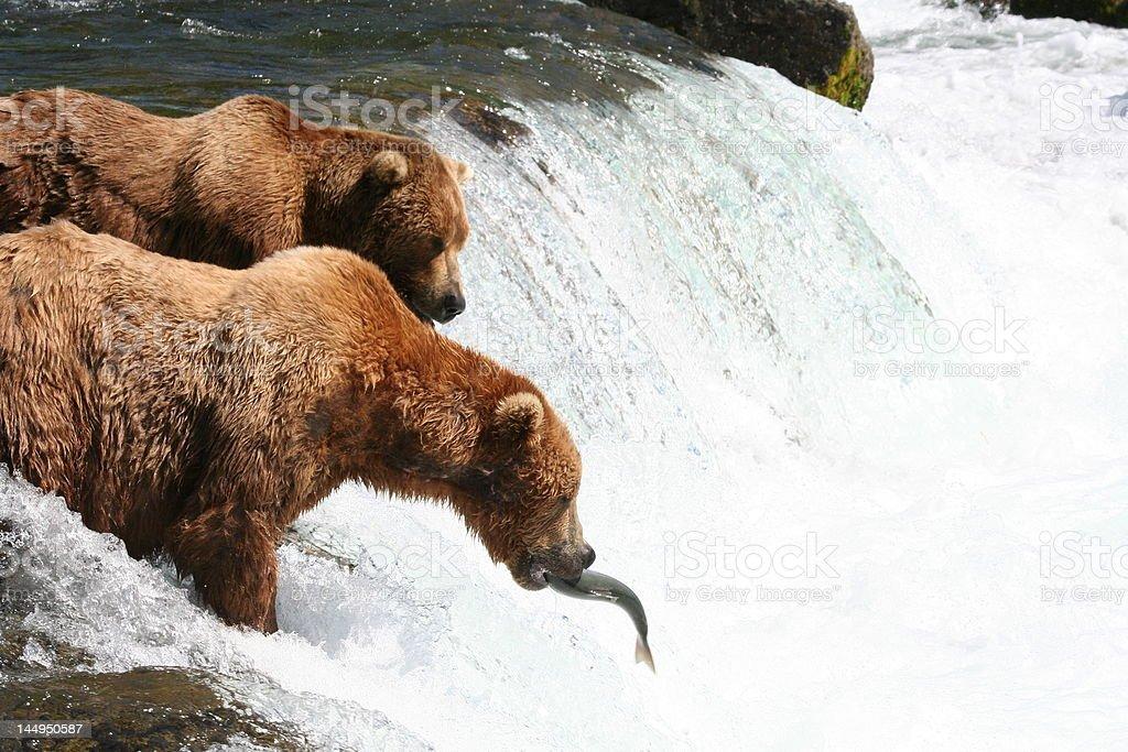 Male bears fishing at Brooks Falls, Alaska. royalty-free stock photo