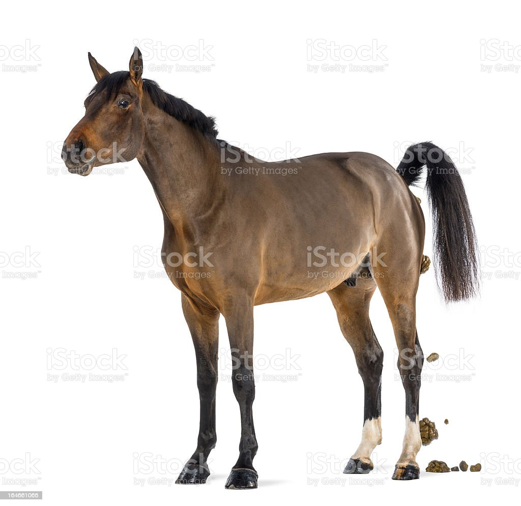 Male Belgian Warmblood, BWP, 3 years old, defecating stock photo