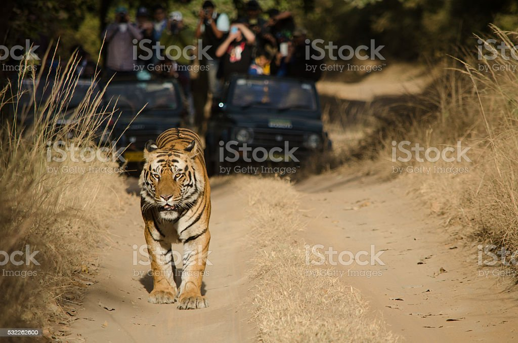 Male Bengal Tiger stock photo