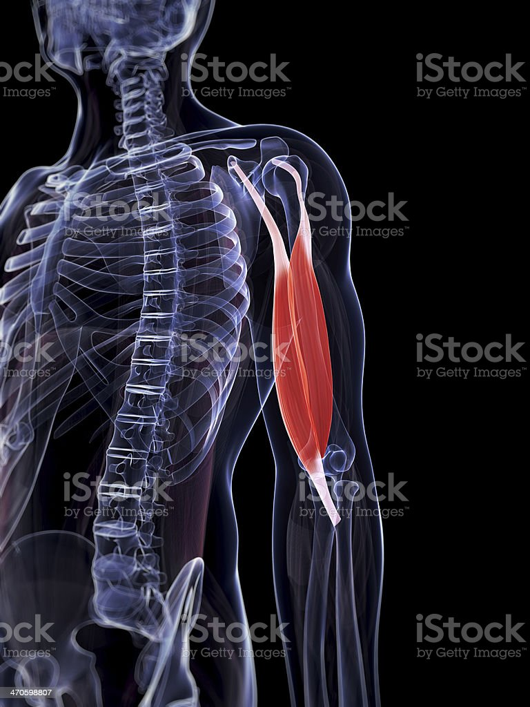 male biceps muscle royalty-free stock photo