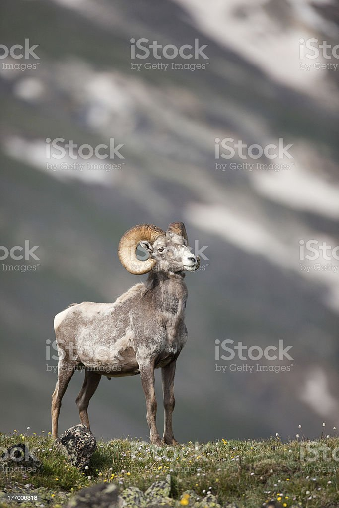 Male Big horn sheep in Rocky Mountains stock photo