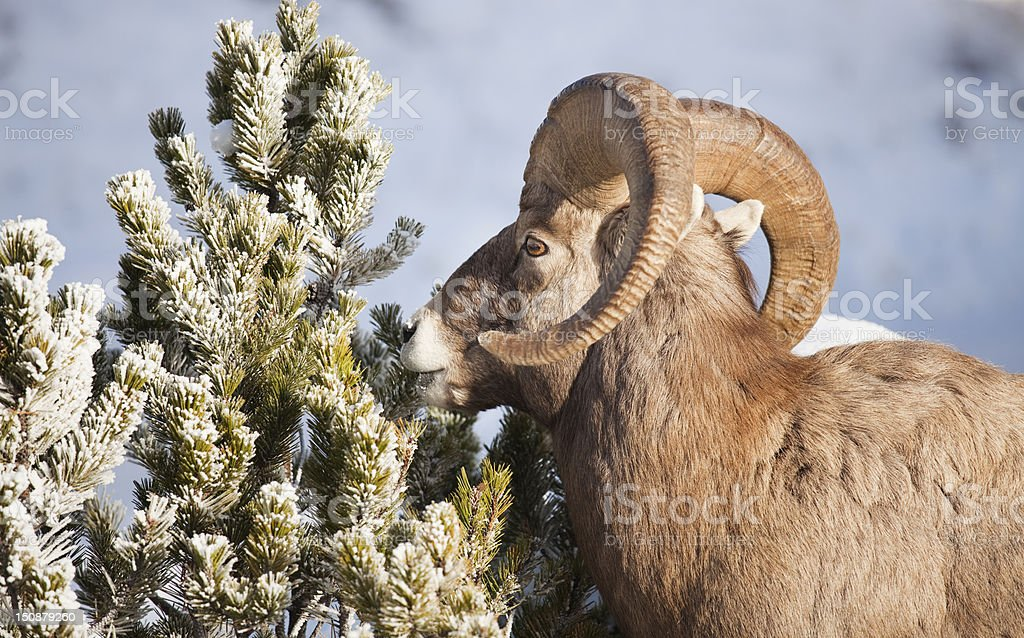 Male Big Horned Sheep royalty-free stock photo
