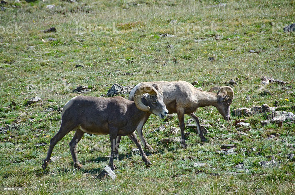 Male Bighorn Sheep in Rocky Mountain National Park stock photo