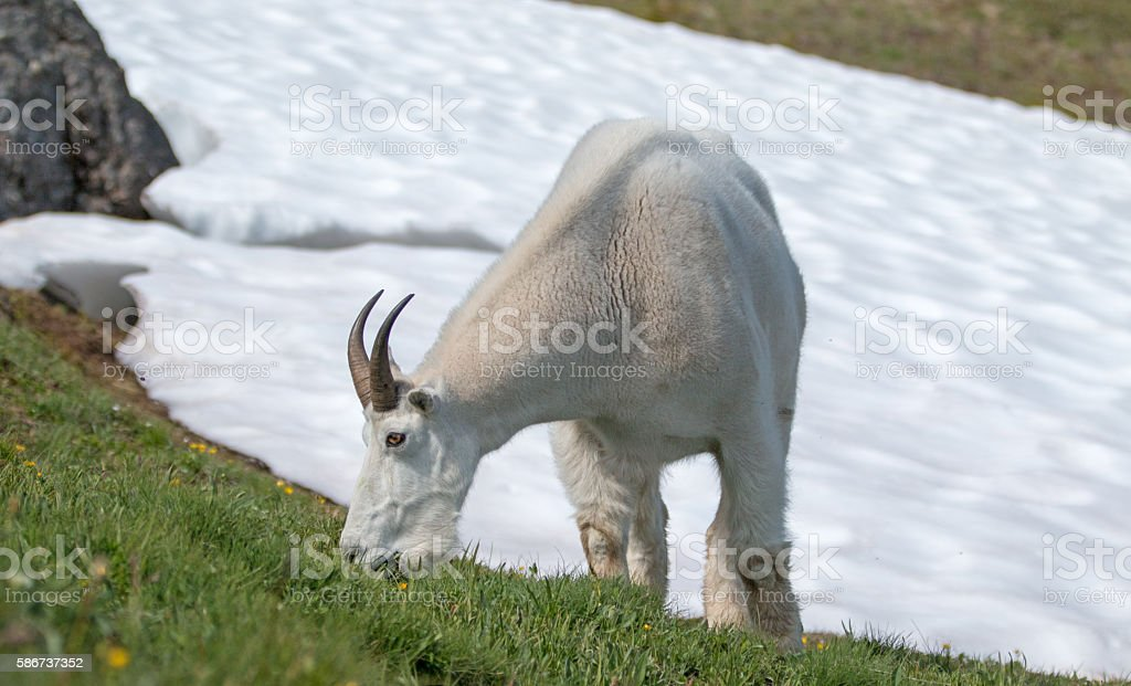 Male Billy Goat on Hurricane Hill snowfield Olympic National Park stock photo