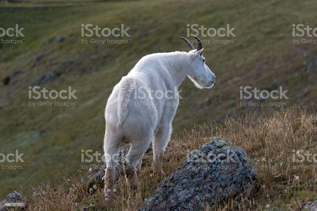 Male Billy Mountain Goat - Hurricane Hill Olympic National Park stock photo