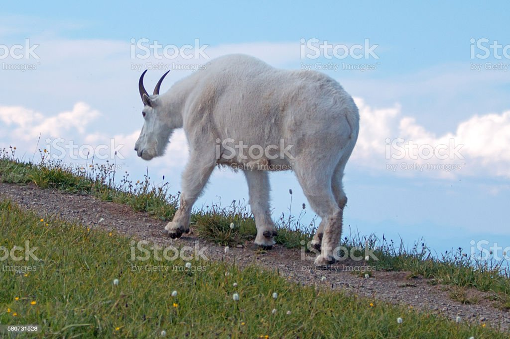 Male Billy Mountain Goat - Hurricane Ridge Olympic National Park stock photo