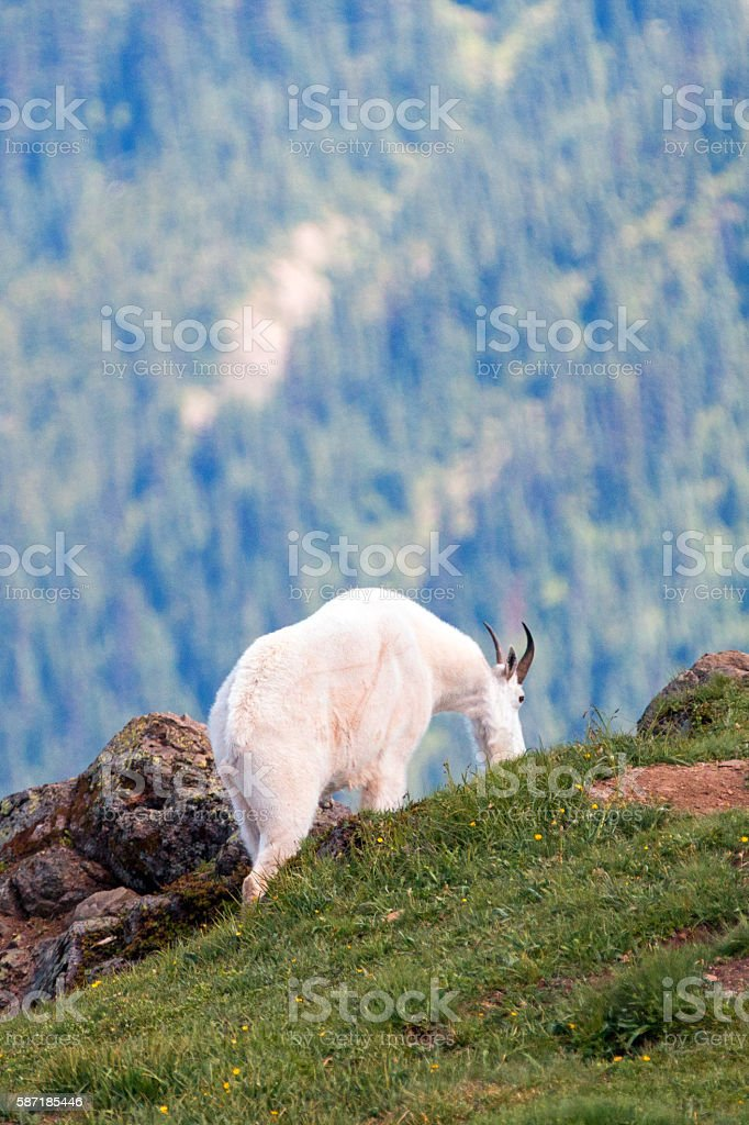 Male Billy Mountain Goat in Washington State USA stock photo