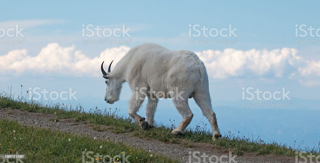 Male Billy Mountain Goat on Hurricane Hill Olympic National Park stock photo
