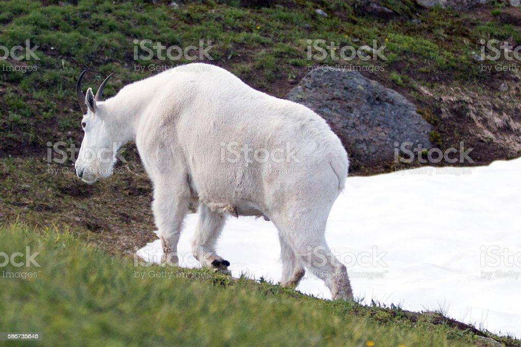 Male Billy Mountain Goat walking along Hurricane Hill snowfield stock photo