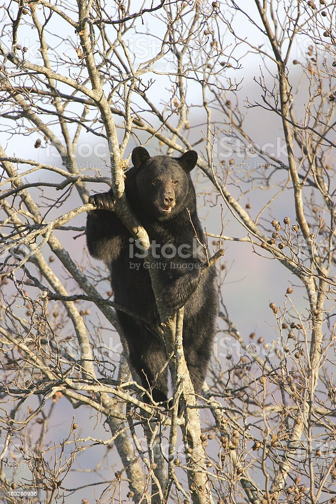 Male black bear in walnut tree royalty-free stock photo