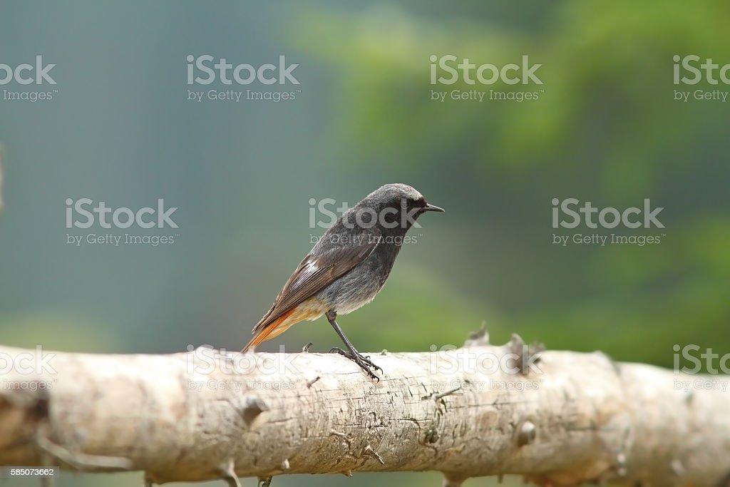 male black redstart on wood fence stock photo