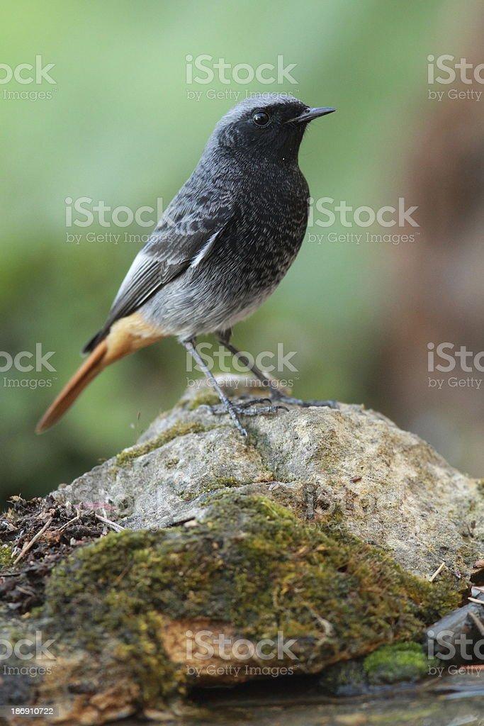 Male Black Redstart stock photo