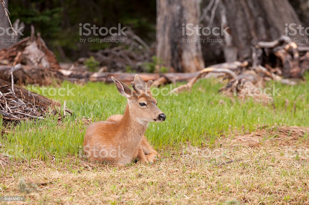 Male black tailed deer laying in grass. stock photo