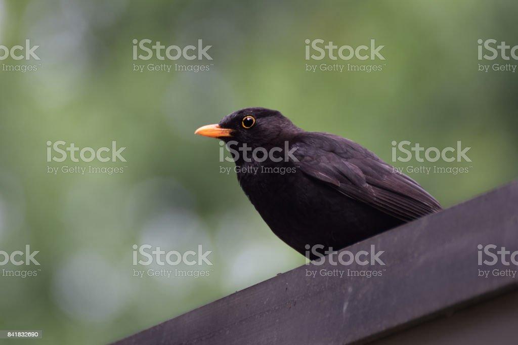 Male blackbird on the roof stock photo