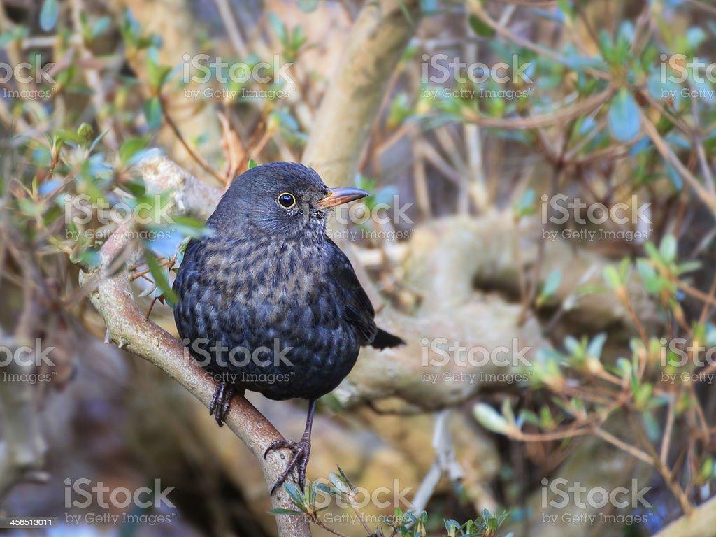 Male blackbird  tuldus merula in the garden royalty-free stock photo