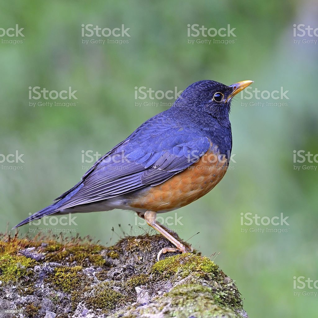male Black-breasted Thrush royalty-free stock photo