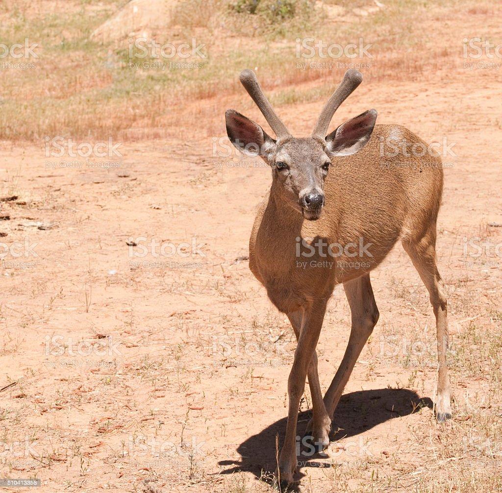 Male Black-taied deer stock photo