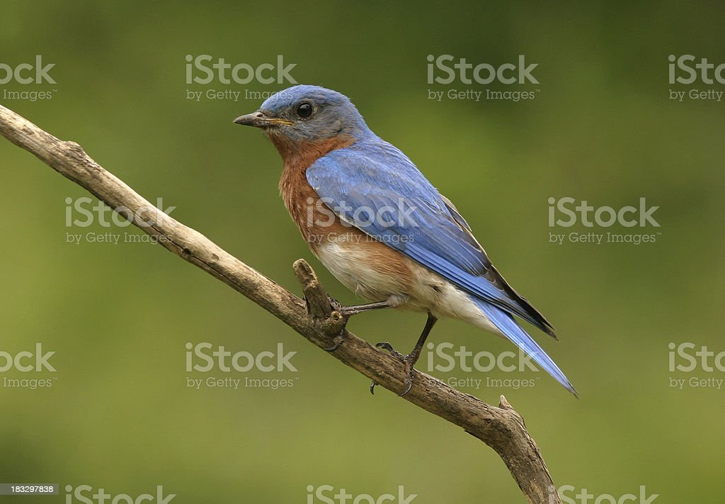 Male Blue Bird stock photo