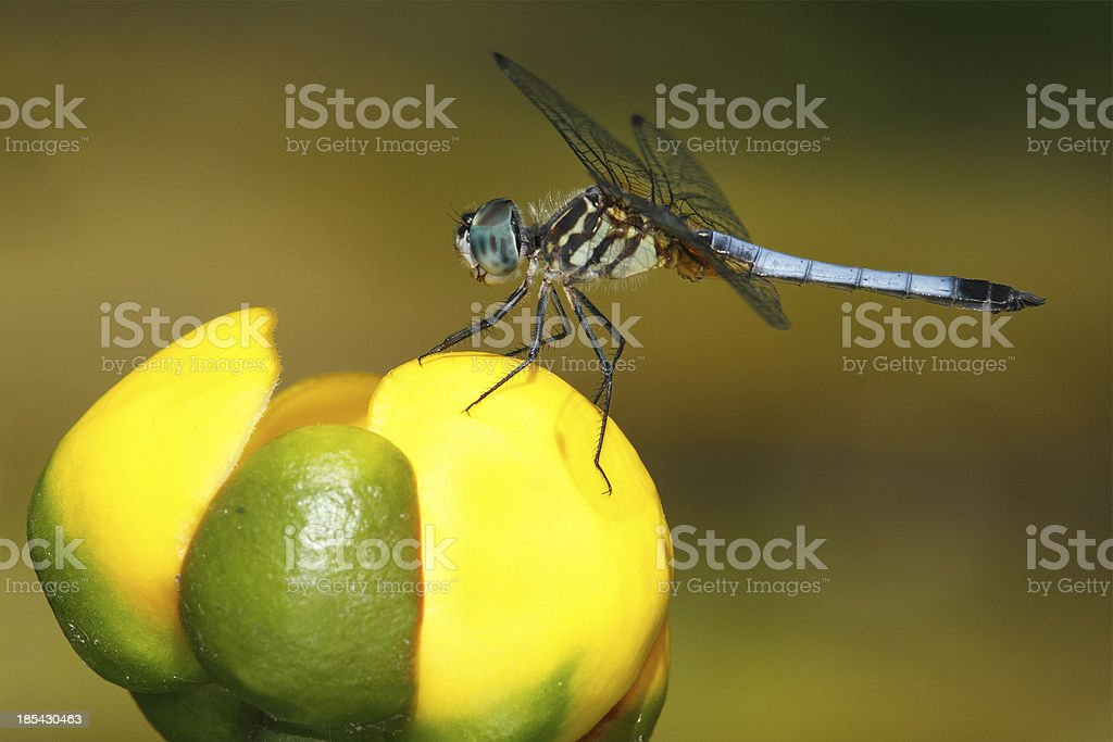 Male Blue Dasher on a Yellow Pond Lily royalty-free stock photo